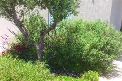 גינה בהרצליה - זית בכניסה לבית