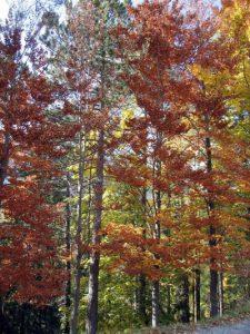 עצים בשלכת באיטליה