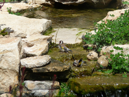 ציפורים על מפל בבריכת נוי